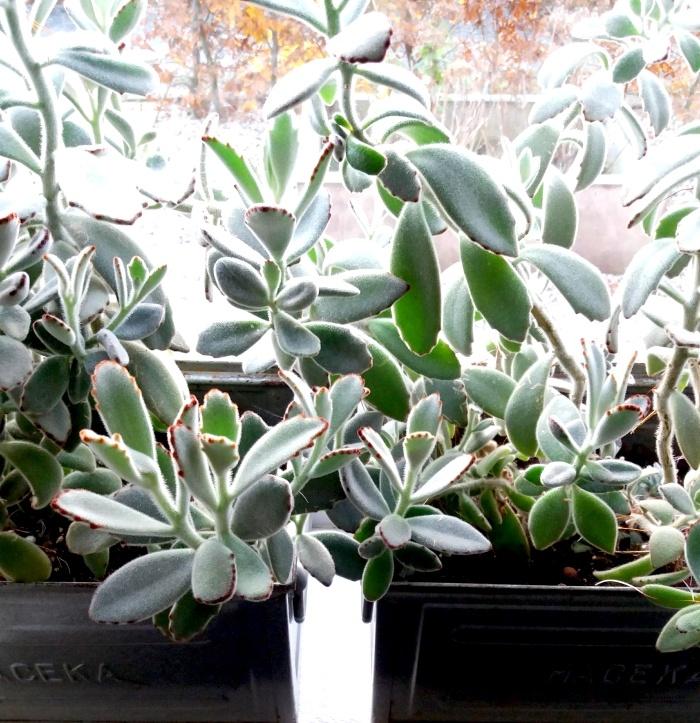 Kalanchoë Tomentosa, vetplant, makkelijke plant, kamerplant