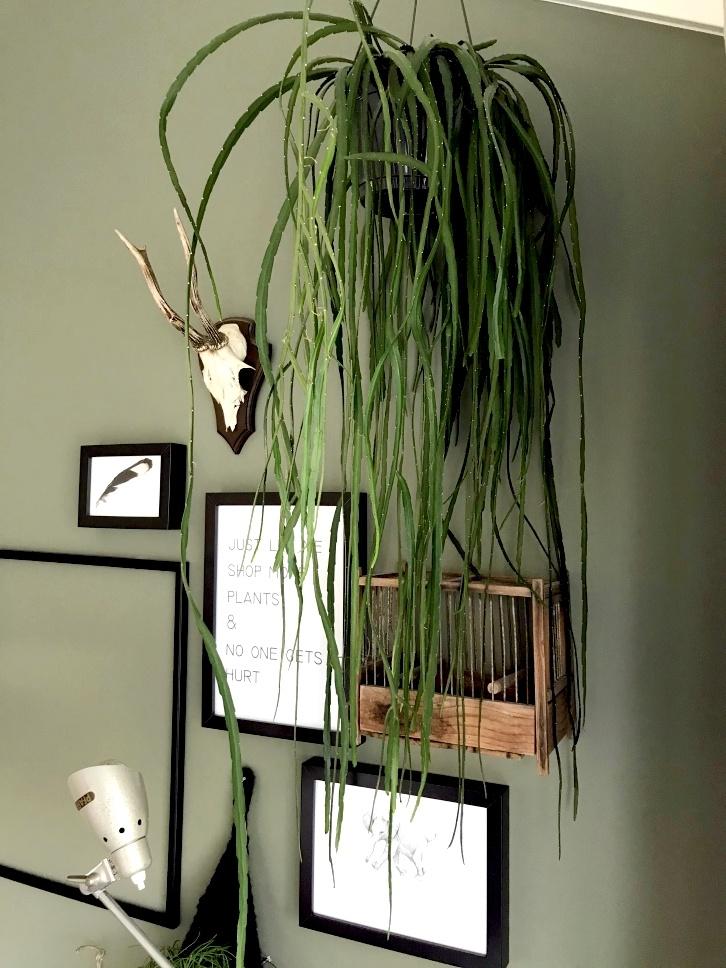 Rhipsalis hippe en makkelijke hangplant