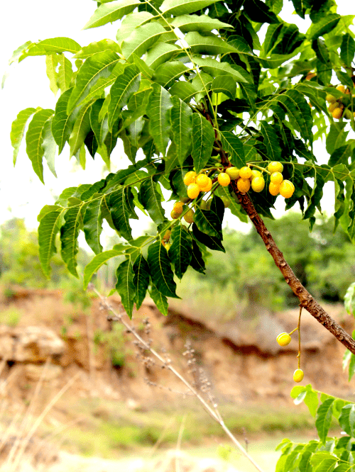 neemboom, neemolie, natuurlijke insectenbestrijding, kamerplanten