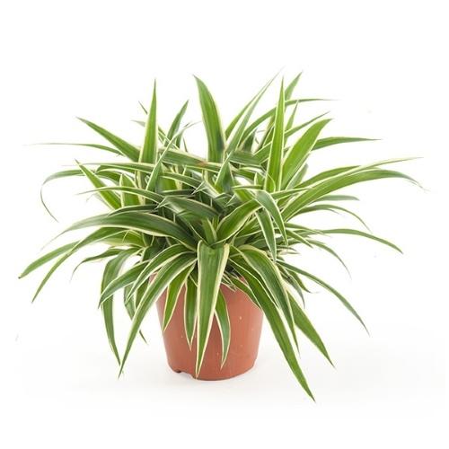 chlorophytum, graslelie, spinnenplant, rustgevende kamerplanten, thuiswerken, thuiswerkplek
