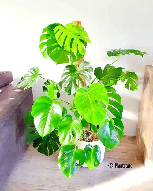 anouk, plantstate, blog interview, plantparent, plantgekkie, monstera deliciosa