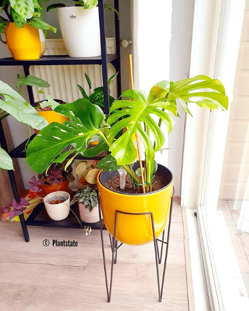 anouk, plantstate, blog interview, plantparent, plantgekkie, monstera thai constellation