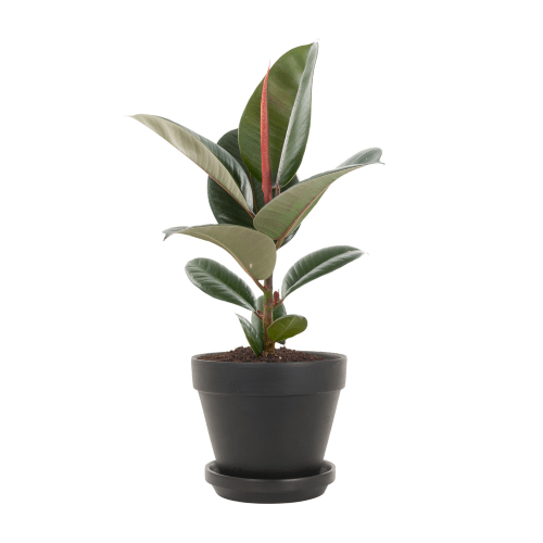 Ficus elastica, Rubberplant, top 10, Instagram