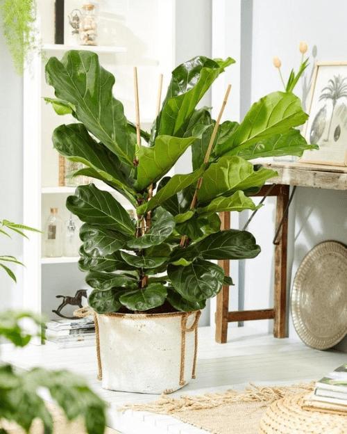 Ficus lyrata, Vioolbladplant, top 10, Instagram