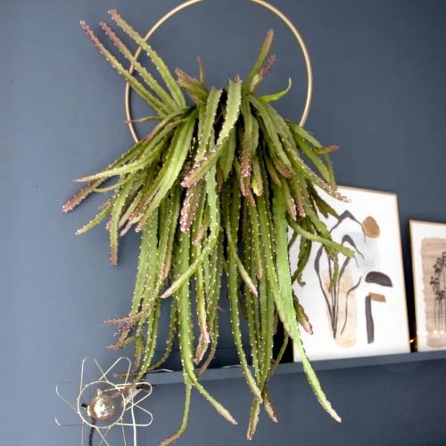 Lepismium cruciforme, hangplanten voor binnen, Happy Circle Original