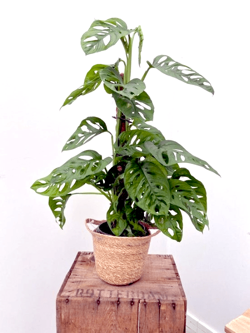 Monstera adansonii, Monkey Mask, populaire kamerplant, top 10, Instagram