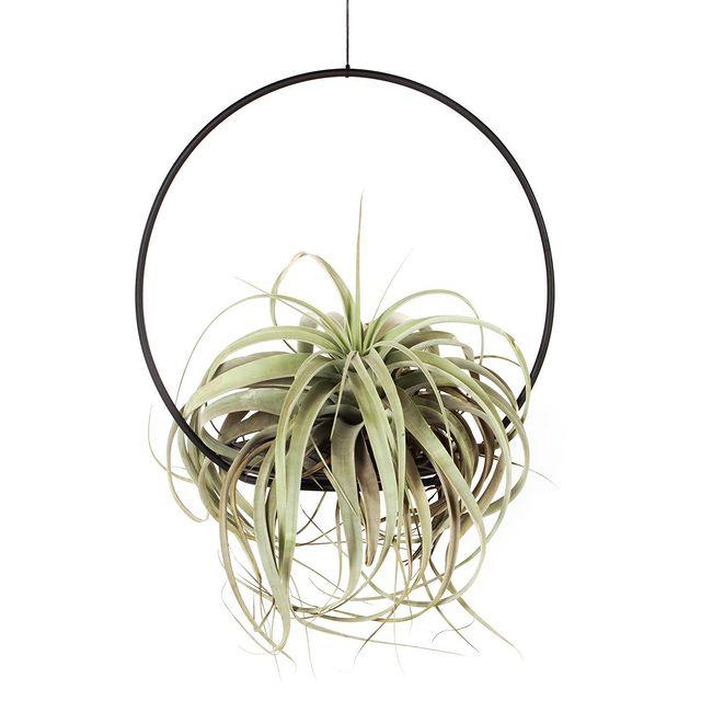 Tillandsia xerographica, hangplanten voor binnen, Happy Circle Original