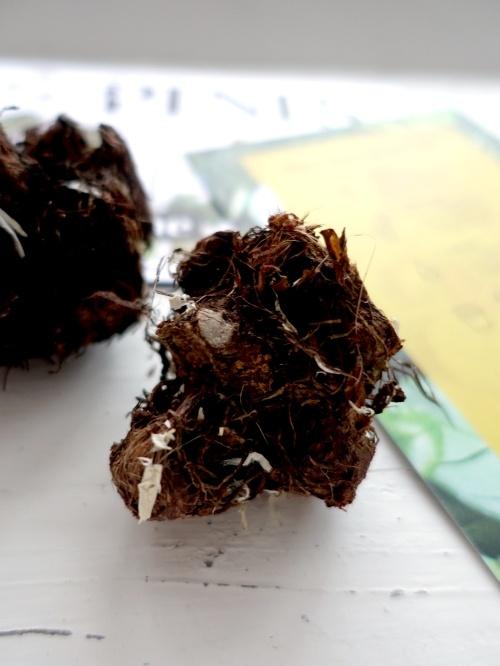 Caladium knollen, tubers, verzorging, wat te doen