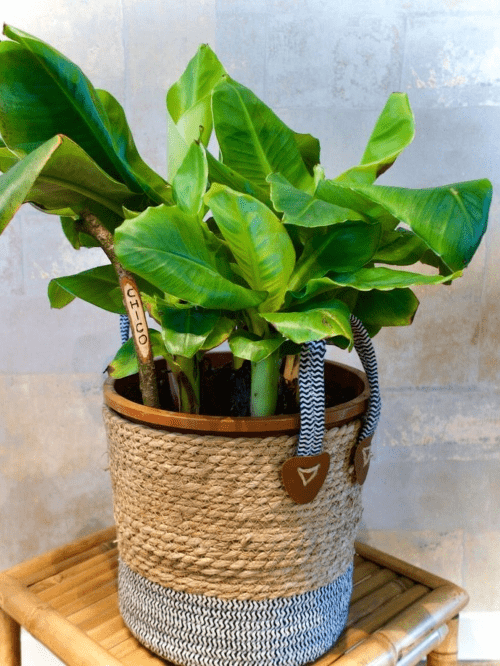 plantenasiel. zaltbommel, pleegplantje, tweedehands plant, bananenplant, musa, plantenopvang