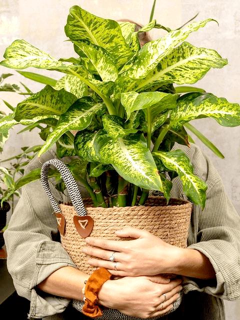 plantenasiel. zaltbommel, pleegplantje, tweedehands plant, kneusjes