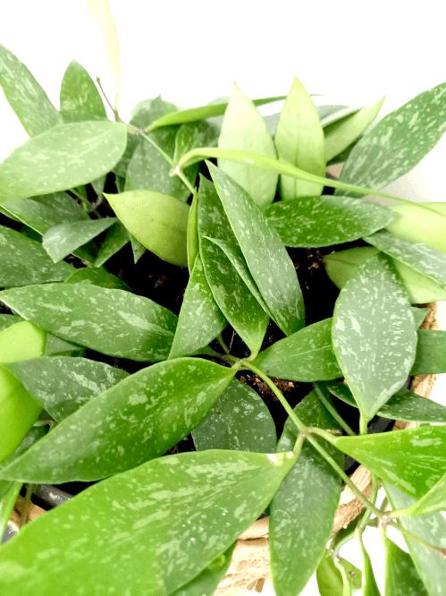 Hoya memoria, close up, Hoya verzorging, standplaats, water, voeding, soorten, bloeien
