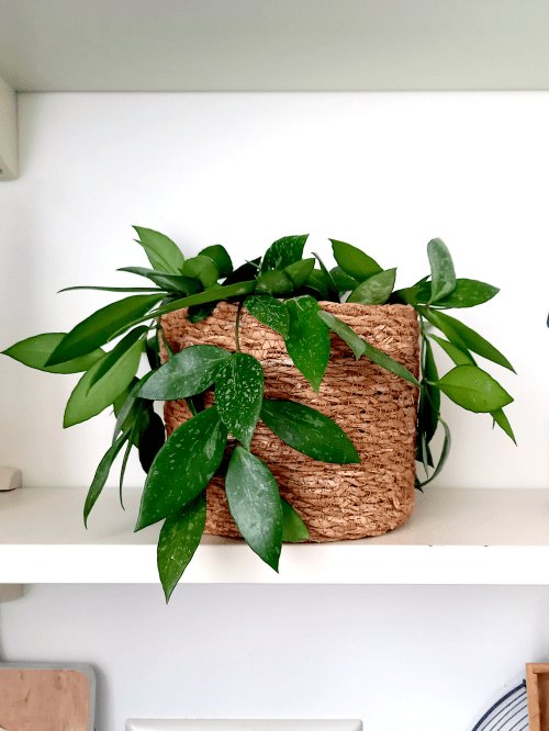 Hoya memoria, Hoya verzorging, standplaats, water, voeding, soorten, bloeien