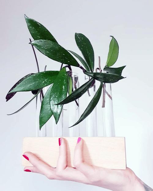 Stekjes, Hoya publicalyx, stekstation, reageerbuisjes, cuttings, propagation station