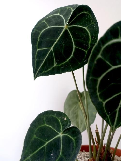 anthurium clarinervium, verzorging, kopen, stekken, vermeerderen, zaadjes, bloemen, potgrond, giftig, bruineranden