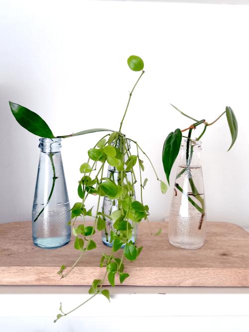 stekjes, stekken, stekken op water, voorjaar, lente, kamerplanten verzorgen, voorjaarstips, verzorgingstips, verpotten voorjaar