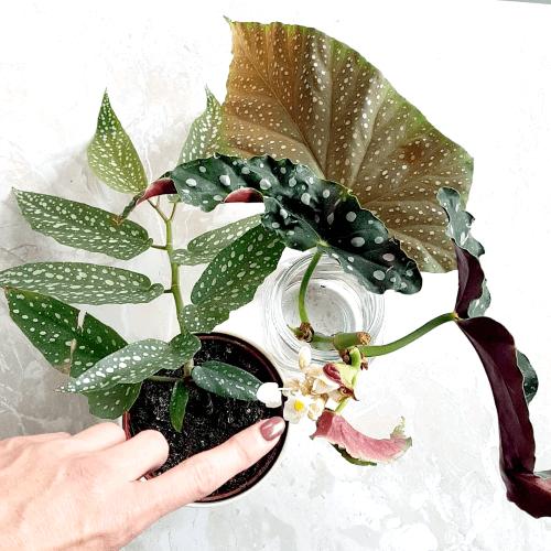 kamerplanten, stippenbegonia, plantfan, interview, kamerplantenliefhebber
