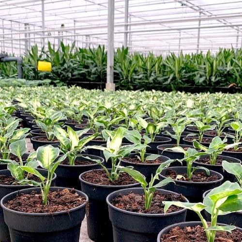 Plantfan Interview, De Plantjesman, kwekerij, vers van de kweker